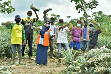 CSR PTBA Bersama Petani Sedang Panen Nanas